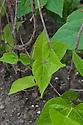 Dwarf French bean 'Speedy', mid June. Hazel twigs provide support and deter birds.