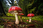 Cluster of fly agaric mushrooms / fungi (Amanita muscaria) growing in coniferous woodland near Inverness, Scottish Highlands. Scotland.