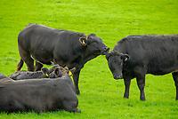 Limousin cross beef cattle, Cumbria, England, UK.