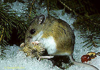 MU58-003z  Burdock seed on white-footed mouse (Peromyscus leucopus), seed dispersal