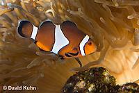0321-1115  False Percula Clownfish (Ocellaris Clownfish), Amphiprion ocellaris, with Bulb-tipped Anemone, Entacmaea quadricolor  © David Kuhn/Dwight Kuhn Photography