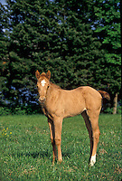 Registered quarter horse foal standing in the grass of summer field.
