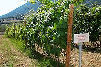 Vines. Kotsifali vine variety. Biblia Chora Winery, Kokkinohori, Kavala, Macedonia, Greece