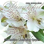 Isabella, FLOWERS, BLUMEN, FLORES, paintings+++++,ITKE026009-SLWK,#f#, EVERYDAY