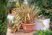 Large Specimen architectural plant Phormium Sundowner in large container clay pot garden on patio next to wall with other planters, big impact in a small space, multi colored foliage plant with strapping long arching grass like leaves in red, green, orange, yellow, brown