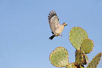 Golden-fronted Woodpecker (Melanerpes aurifrons), female landing on Texas Prickly Pear Cactus (Opuntia lindheimeri), Dinero, Lake Corpus Christi, South Texas, USA
