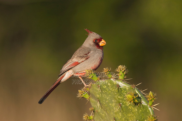 Pyrrhuloxia (Cardinalis sinuatus), male perched on cactus, Starr County, Rio Grande Valley, South Texas, USA