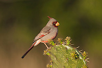 Pyrrhuloxia (Cardinalis sinuatus), male perched on cactus, Starr County, Rio Grande Valley, South Texas, USA