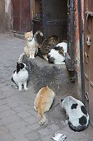Stray cats in the souk at Marrakech, Morocco