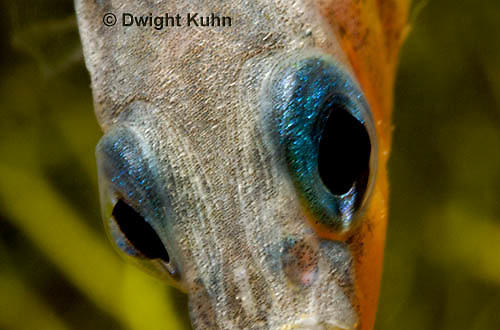1S15-508z  Male Threespine Stickleback, Mating colors, close-up showing bright blue eyes [iris],  Gasterosteus aculeatus,  Hotel Lake British Columbia