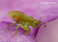 AM09-575z  Ambush Bug nymph several days old, Phymata americana