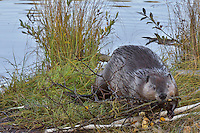"""North American Beaver (Castor canadensis) pulling aspen tree limb out on bank where it will feed on it.  Beavers often have regular feeding areas within their home range and will frequently eat much of theeir food at these locations.  These sites are often called """"feeding stations.""""  Northern Rockies,  Fall."""