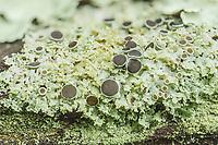 Lichen (Physcia), a small, foliose lichen, growing on a tree branch.