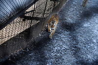 Tigers run to cages after feeding time at the Siberian Tiger Park in Haerbin, Heilongjiang, China.  The Siberian Tiger Park is described as a preserve to protect Siberian tigers from extinction through captive breeding.  Visitors to the park can purchase live chickens and other meat to throw to the tigers.  The Siberian tiger is also known as the Manchurian tiger.