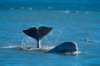 beluga whale, Delphinapterus leucas, rubbing, Somerset Island, Nunavut, Canada (Arctic)