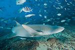 Beqa Lagoon, Pacific Harbor, Fiji; Tawny Nurse Shark (Nebris ferrungineus) swimming among reef fish