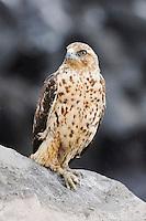 Galapagos Hawk (Buteo galapagoensis), immature, Espanola Island, Galapagos, Ecuador, South America