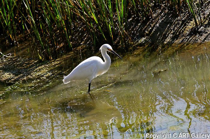 Egret wading in the marsh, Upper Newport Bay, CA.