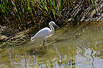 Egret wading in the marsh, Upper Newport Bay, CA.