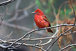 Summer Tanager perched in a tree.