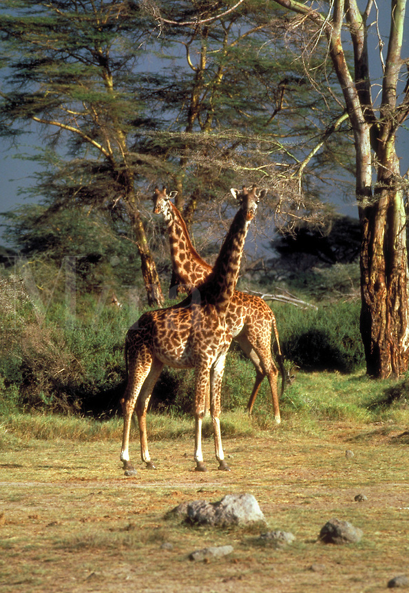 Two giraffes under Acacia trees, Kenya, Africa.  Savannah. Herbivore.