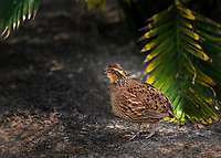 Female Northern BobWhite Quail  under Palm trees in Florida
