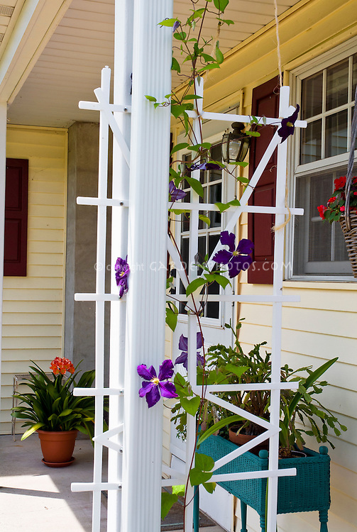 Clematis vine on front porch of house climbing trellis