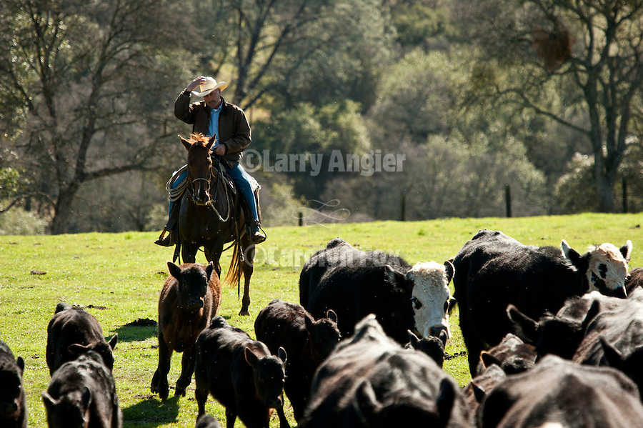Frank Busi pushing the cattle for calf marking and branding at the Stoney Creek Corrals of the Busi Ranch, Amador County, Calif.