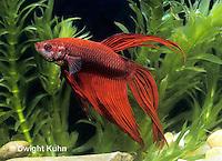 BY02-006z  Siamese Fighting Fish - male - Betta splendens