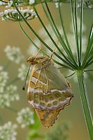 Kaisermantel, Männchen, Silberstrich, Unterseite, Flügelunterseite, Argynnis paphia, Silver-washed fritillary, male, Le Tabac d'Espagne, Edelfalter, Nymphalidae