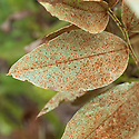 Rust on broad beans, early August. A fungal disease caused by the fungus Uromyces viciae-fabae var. viciae-fabae.