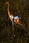 Immature whooping crane walking through grass in Patuxent, Maryland