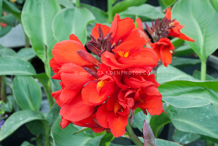 Canna Tropical Red flowers