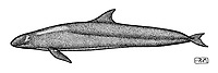 False killer whale, Pseudorca crassidens, lateral view, pen and ink illustration.