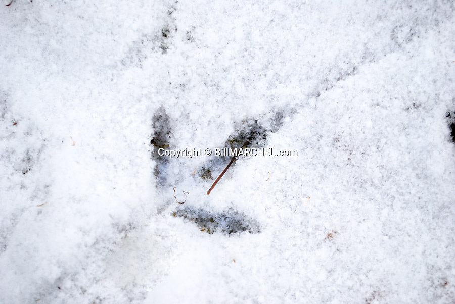 00515-076.18  Ruffed Grouse: Track of running bird in light snow.  Hunt, cold, track.