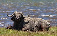 Cape buffalo (Syncerus caffer)caked in mud, Soysambu Conservancy, Great Rift Valley, Kenya