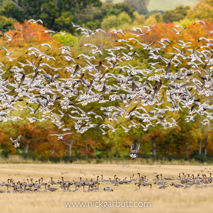 Flocks of pink footed geese (Anser brachyrhynchus) in stubble field and taking flight, near Udale Bay, Black Isle, Scotland, UK, October.