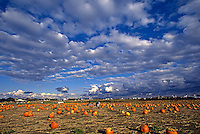 Autumn pumpkin patch.