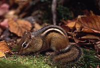 Chipmunk amongst dried fall leaves in Baxter State Park, Maine.