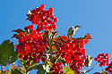 Guelder Rose / Crampbark {Viburnum opulus}. Strumpshaw Fen, Cambridgeshire, UK. September.