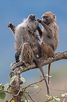 Olive baboons were one of the first animals we saw in Tanzania, in Arusha National Park.