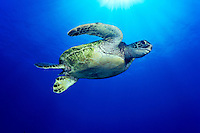Hawaiian green sea turtle, (Honu).