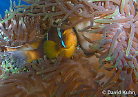0320-1108  Clark's anemonefish (Yellowtail clownfish), Amphiprion clarkii, with Bulb-tipped Anemone, Entacmaea quadricolor  © David Kuhn/Dwight Kuhn Photography.