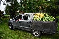 ARMENIA - COLOMBIA, 26-05-2021: El plátano Hartón es uno de los productos más comercializados en el departamento del Quindío, a causa de los bloqueos su precio bajó a COP 450 por kilo, en fincas como La Máquina del municipio de Montenegro, Quindío, la cantidad represada de este alimento está alrededor de una tonelada. A más de un mes del inicio del Paro Nacional, los campesinos han tenido que reinventar la forma para mantener sus cultivos y criaderos activos para minimizar las pérdidas por los bloqueos que aún se mantienen en las vías. Según cifras del Ministerio de Hacienda, las pérdidas diarias están en un monto de $480.000 millones de pesos colombianos, lo cual sumando la totalidad de los días del Paro Nacional, suman un total de $10,8 billones de pesos colombianos. / The banana is one of the most traded products in the department of Quindío, because of the blockades its price dropped to COP 450 per kilo, in farms such as La Máquina in the municipality of Montenegro, Quindío, the amount of this food is around one ton. More than a month after the beginning of the National Strike, farmers have had to reinvent the way to keep their crops and farms active in order to minimize losses due to the blockades that still remain on the roads. According to figures from the Ministry of Finance, daily losses are in the amount of $480,000 million Colombian pesos, which adding the total number of days of the National Strike, add up to a total of $10.8 billion Colombian pesos. Photo: VizzorImage / Santiago Castro / Cont