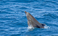 Offshore type bottlenose dolphins (Tursiops truncatus) leaping in the midriff region of the Gulf of California (Sea of Cortez), Baja California Norte, Mexico.