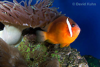 0322-1119  Tomato Clownfish, Amphiprion frenatus, with Bubble-tip Anemone, Entacmaea quadricolor  © David Kuhn/Dwight Kuhn Photography