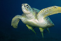 Green turtle, latin name Chelonia mydas, live sharksucker fish, latin name Echeneis naucrates, off Marsa Alam coast, Egypt, Red Sea,