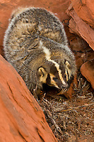 Badger investigating a nest tucked into the crevice of a rock - CA