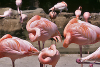 Flamingoes at rest. San Diego Zoo, California