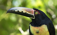 Aracaris are smaller members of the toucan family.